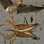 Lesser Yellowlegs, coming down, Greater Yellowlegs in the water. thumbnail