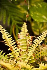 My Ferns.... (Mad2PhoFreak) Tags: