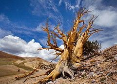 Reaching up (DM Weber) Tags: california county white mountains tree clouds canon landscape dead ancient pretty grove branches bristlecone patriarch inyo eos5dmk2 psa148 dmweber