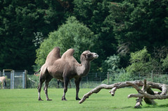 Bactrian camel (MissingPhoton1) Tags: animal zoo camel marwell bactrian marwellzoo bactriancamel