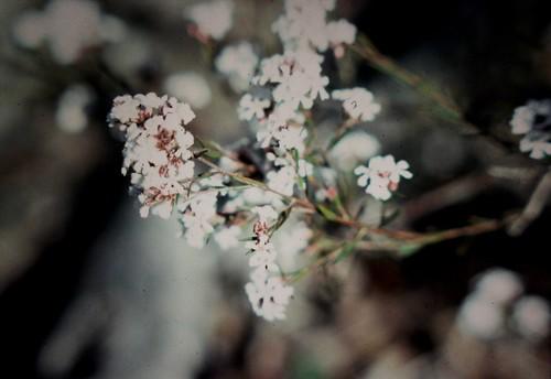 Leucopogon capitellatus