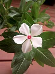 แพงพวย [vinca] (som300) Tags: plant flower blossom vinca motorola zn5