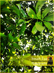 Nature_Mango_Leaves (smarteyephotography) Tags: dpsgreen smarteyephotography