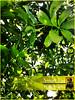 Nature_Mango_Leaves (smarteyephotography) Tags: dpsgreen smarteyephotography