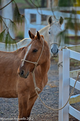 Horses (Maurício Arguello) Tags: horse cavalo itapeva mygearandme valesuiço