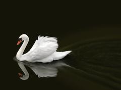 Swan Lake (alanpeacock2) Tags: orange white black nature water birds reflections swan wildlife lakes swans swanlake waterbirds