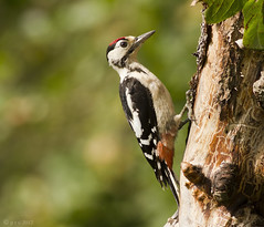 Great spotted woodpecker (www.paul-green.org) Tags: nature birds woodpecker wildlife aves avian greatspottedwoodpecker nbw