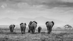 The Long Walk Home (mariusdalseg) Tags: africa wild mono blackwhite wildlife safari approved elephants mikumi