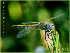 Time of Dragonflies (fjprieto71) Tags: espaa insectos art insect de spain time dragonflies andalucia panasonic explore cadiz medina macros prieto libelulas sidonia platinumheartaward dmcfz45 flickrstruereflection1 rememberthatmomentlevel1 fjprieto71 rememberthatmomentlevel2 dragonfliesepoca libelulaspaco