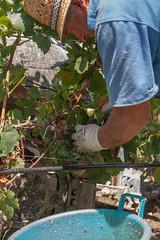Planeta_20_agosto_12_0144 (Planeta Winery - Sicily) Tags: sicily sicilia planeta sambucadisicilia agosto2012