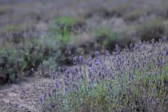 IMG_7808 (ElsSchepers) Tags: limburglavendel lavendelhoeve stokrooie kuringen hasselt natuur vlinders
