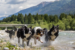 Our Bordercollies in Austria (Jan Passchier Amsterdam) Tags: bordercollie austria dogs water river running dog