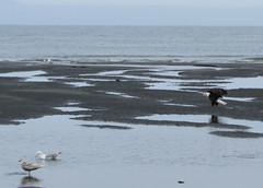 HomerArea23 (alicia.garbelman) Tags: alaska beach ocean birds anchorriverstaterecreationarea kenaipeninsula baldeagles seagulls wildlife