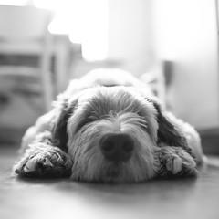 Atlas (*hassedanne*) Tags: 10 bw atlas cute dog sliderssunday hss