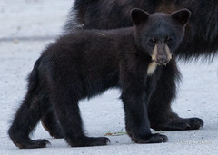 Small version of big paws (Maja's Photography) Tags: wild canada nature animals closeup canon walking amazing furry bc wildlife critters wilderness blackbear bearcubs