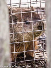 08-10-2016 uxbridge and milford trail et al-2848.jpg (davemorinphoto.com) Tags: flickr trap woodchuck