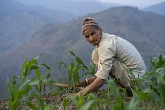 Farmer Naresh Khadka weeding his maize in Litari Gaum, Dadeldhura. (CIMMYT) Tags: nepal csisa cimmyt maize agriculture smallholder farmer mechanization asia