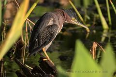 Grumpy Greenie (J Baker Photography) Tags: florida wetlands grumpy bird wading birds green heron