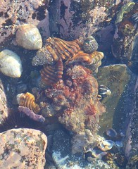 A family of shell creatures (Celeste33) Tags: shells rockpools underwater