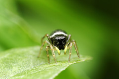 Heliophanus Cupreus (Little Boy 09) Tags: canon eos 60d sigma 105mm f28 os macro macrodream jumping spider araigne sauteuse bokeh colors oooo flash venus kx800 raynox dcr250