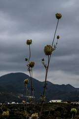 Wild flower (Pain Picture) Tags: xt1 fujifilm turkey summer vacation