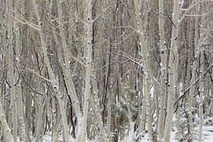 Aspens in Snow (Free Roaming Photography) Tags: americansouthwest arizona arizonatrail aspentrees coloradoplateau desertsouthwest evergreentrees hikingtrail kaibabnationalforest kaibabplateau northernarizona snow snowontrees snowstorm snowfall snowing sprucetrees winterweather jacoblake unitedstates