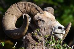 MOMENT IN TIME (Aspenbreeze) Tags: bighornsheep ram bighornram nature wildlife wildanimal animal horn rural countryside mountainside mountain wyomingwildlife bevzuerlein aspenbreeze moonandbackphotography ngc