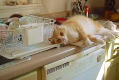 Jimmy angling for attention while I try to clean the kitchen (rootcrop54) Tags: jimmy orange ginger tabby cat ham male macska kedi  koka kissa  kttur kucing gatto  kais kat katt katzen kot  maka maek kitteh chat