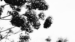 Otherworldly Flowers (dtFotography) Tags: flowers blackandwhite nature contrast spokane washingon dark shadows highlights strange otherworldly abstract texture bokeh blur