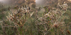 webby cow parsley (the incredible how (intermitten.t)) Tags: theranch mist fog spiderswebs webs droplets cowparsley 20160915 15867