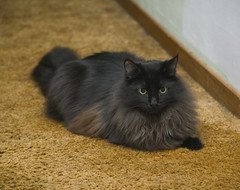 Cisco in Hallway (dblees) Tags: cat gato chat kitty  koka kat kissa katze gatto kot pisic maka katt  kedi con mo       gata