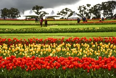Tesselaar Tulip Festival (phunnyfotos) Tags: phunnyfotos australia victoria vic melbourne silvan dandenongranges dandenongs thedandenongs farm farming flowerfarm tulips flowers colour color rural red yellow tourism tourists touristattraction spring nikon d750 nikond750 tents marquees sunny sunshine weather landscape