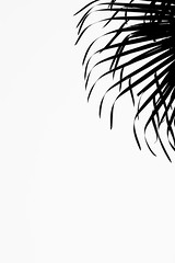 Palm (talpazfridman) Tags: talpazfridman israel nikon print prints poster posters art fineart wallart decor homedecor interiordesign 1 abstract bw background bend black blackwhite blackandwhite botany branch branches corner curve day empty environment flora floral foliage forest graphic graphical isolated landscape leaf leaves minimal minimalism minimalistic monochromatic monochrome monotone natural nature one outdoor outdoors outline palm palmtree pastel pattern plant silhouette simple single sky summer sunlight sunny top tree tropic tropical tropics vegetation white