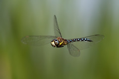 Migrant Hawker Dragonfly (Simon Stobart (back but busy)) Tags: migrant hawker dragonfly flying north west england ngc npc