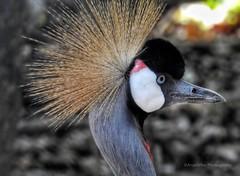 Grey Crowned Crane (AngelVibePhotography) Tags: greycrownedcrane crane animal bird birds photography gray nikon closeup nature nikonp900 outdoor