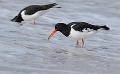 Oystercatcher's (Galway Pete) Tags: birds oystercatcher pskeltonphoto nature 7dmk11 sigma 150600 c furbo beach galway