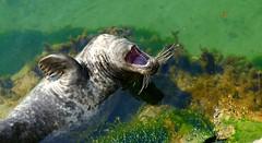 Bostezo (alfonsocarlospalencia) Tags: foca bostezo muelas bigote agua uas algas pennsula de la magdalena santander cantabria amgdalas saliva paladar reflejo colmillos verde