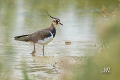 Vanneau huppe - Vanellus vanellus (Domaine Des Oiseaux, Ariege) 28 aout 2016 (Christophe.R.) Tags: canon charadriids charadriiformes ddo domainedesoiseaux france ladddo mazres midipyrenes northernlapwing printemps vanellusvanellus vanneauhupp vanneauhuppvanellusvanellus bird oiseau wwwlesamisdudomainedesoiseauxfr