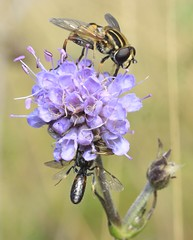spider with  bee prey (cf Lasioglossum calceatum male furrow bee ) & Helophilus hoverfly (BSCG (Badenoch and Strathspey Conservation Group)) Tags: gos