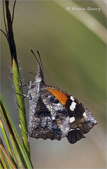 American Snout butterfly (Kevin B Photo) Tags: kevinbarry insect butterfly vertical beautiful americansnout sabinocanyon tucsonarizona canon5dmarkiii macrolens autumn fall
