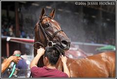 Practical Joke (Spruceton Spook) Tags: saratoga horses horseracing maidens