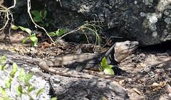 Lucertola Gigante di Gran Canaria cropDSC00837 (massimocenedese) Tags: lucertola gigante di gran canarianature animaliel lagarto de canaria giardino botanico sony a6000