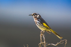 Thinking of you (satochappy) Tags: newhollandhoneyeater sydney australia nsw rhodesnsw   canon sigma