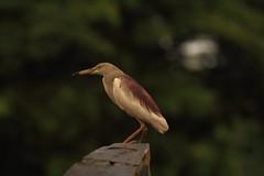 Surprise (Rajavelu1) Tags: birds rever allapuzha kerala india bokeh travel toor art aroundtheworld artland creative simplysuperb