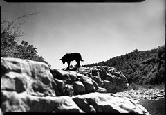 Dog on the rocks (salparadise666) Tags: busch pressman 2x3 101mm wollensak ygfilter fomapan 100 sheet film caffenol rs 14min nils volkmer analog france cevennes monochrome black white medium format la beaume river