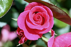 Maig_1345 (Joanbrebo) Tags: canoneos70d efs18135mmf3556is eosd autofocus park parque parc parccervantes 16concursinternacionalderosesnovesdebarcelona barcelona blumen blossom garden jard jardn flores flors flowers fiori fleur