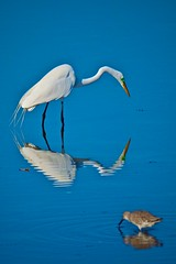 Mirror, Mirror (Kerry Freeman) Tags: birds florida sanibel