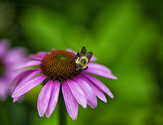 Echinacea (Explored)