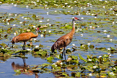 Pair of Cranes (Mike F.) Tags: water cranes lillypads sandhillcranes lakewisconsin cranessandhillbirdslakewisconsin