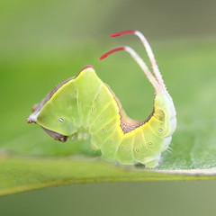 """Cerura vinula"" - hermelijnvlinder , explored! (bugman11) Tags: macro green nature animal animals fauna canon bug insect niceshot nederland thenetherlands insects bugs 1001nights catterpillar catterpillars platinumheartaward ahqmacro bestcapturesaoi 100mm28lmacro 1001nightsmagiccity elitegalleryaoi mygearandme mygearandmepremium mygearandmebronze mygearandmesilver mygearandmegold mygearandmeplatinum mygearandmediamond ringexcellence blinkagain ruby10 ruby5 ruby15 allofnatureswildlifelevel1 unlimitedinsectslevel1 elitegreenmacros"